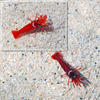 Captive-Bred Blood Red Fire Shrimp (Bonded Pair) (click for more detail)