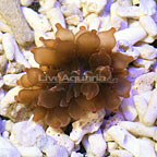 Rose Bubble Tip Anemone (click for more detail)