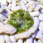 Ultra Rock Flower Anemone (click for more detail)