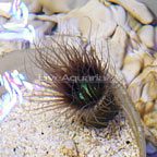 Tube Anemone Purple/Black with Neon Green Center (click for more detail)