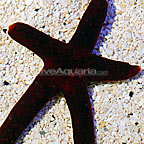 Burgundy Sea Star (click for more detail)