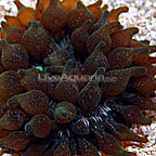 Bubble Tip Anemone Green Speckled (click for more detail)