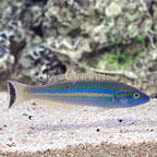 Small Tail Pencil Wrasse Terminal Phase Male (click for more detail)