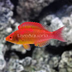 Adornatus Fairy Wrasse Terminal Phase Male (click for more detail)