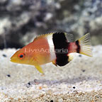 Banana Hogfish (click for more detail)