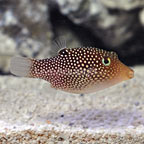 Central American Spotted Sharpnose Puffer (click for more detail)