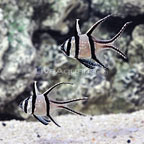Bali Captive-Bred Kaudern's Cardinalfish (Bonded Pair) (click for more detail)