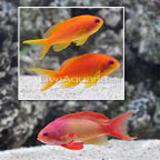 Maldives Lyretail Anthias (Trio) (click for more detail)