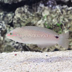 Three Spot Wrasse Initial Phase (click for more detail)