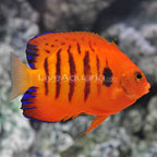 Flame Angelfish (click for more detail)