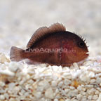 Fijian Coral Croucher Goby (click for more detail)
