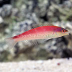 Blue Nose Pencil Wrasse Female (click for more detail)