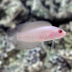 Red Serosa Dottyback Male (click for more detail)