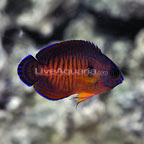 Mauritius Tiger Tail Coral Beauty Angelfish  (click for more detail)