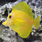 Hawaiian Yellow Tang  (click for more detail)
