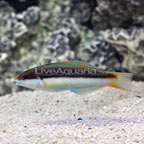 Red Cheek Wrasse Juvenile (click for more detail)