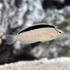 ORA® Captive-Bred Smith's Blenny (click for more detail)