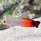 Firefish Goby (click for more detail)