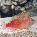 Bleeker's Hawkfish (click for more detail)