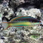 Red Cheek Wrasse Initial Phase (click for more detail)