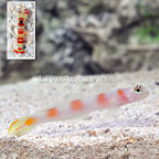 Flagtail Shrimp Goby with Red Banded Snapping Shrimp (click for more detail)