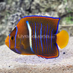 Passer Angelfish Changing (click for more detail)
