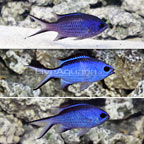 Large Caribbean Blue Reef Chromis (Trio) (click for more detail)