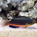 Vanuatu Scott's Fairy Wrasse Terminal Phase Male (click for more detail)