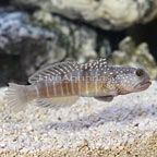 Biota Captive-Bred Watchman Goby (click for more detail)