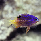Kwajalein Tracey's Damselfish  (click for more detail)