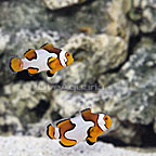 USA Captive-Bred Black Picasso Percula Clownfish (Bonded Pair) (click for more detail)