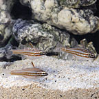 Red Striped Cardinalfish (Trio) (click for more detail)