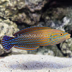 Bluestripe Tamarin Wrasse Male [Expert Only] (click for more detail)
