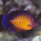 Biota Captive-Bred Coral Beauty Angelfish (click for more detail)
