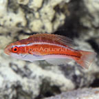 Mauritius Flasher Wrasse Initial Phase (click for more detail)