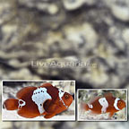Captive-Bred Lightning Maroon Clownfish (Bonded Pair) (click for more detail)