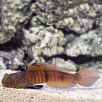 Blue Spotted Watchman Goby (click for more detail)