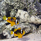 ORA® Captive-Bred Deluxe Clarkii Clownfish (Select Pair) (click for more detail)