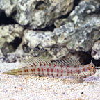 Blue-dashed Blenny (click for more detail)