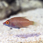 Pink Streaked Wrasse  (click for more detail)