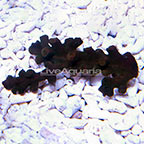 Tube Coral Black (click for more detail)