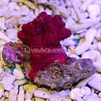 Chili Coral Red [Expert Only]  (click for more detail)