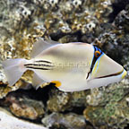 Red Sea Assasi Triggerfish (click for more detail)