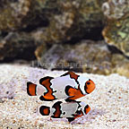 ORA® Captive-Bred Black Ice Snowflake Ocellaris Clownfish (Bonded Pair) (click for more detail)