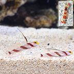 Hi Fin Red Banded Goby (Bonded Pair) with Red Banded Pistol Shrimp (click for more detail)