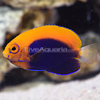 African Flameback Angelfish (click for more detail)