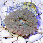 Bubble Tip Anemone Green with Pink Tips (click for more detail)