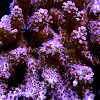 Aussie Strawberry Shortcake Tabling Acropora Coral (click for more detail)