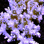 Aussie Tabling Acropora Coral (click for more detail)