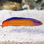 ORA® Captive-Bred Neon Dottyback (click for more detail)